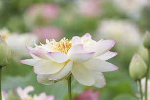 満開のハスの花の写真素材 [FYI04902638]