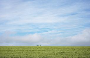 北海道の大麦畑の写真素材 [FYI04902733]