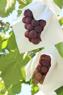 ぶどう 傘がけ栽培のピレーネの写真素材 [FYI04903090]
