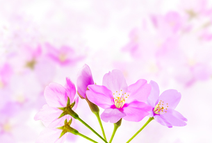 桜のイラスト素材 [FYI04903428]