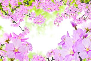 桜のイラスト素材 [FYI04903470]