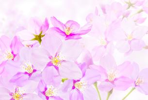 桜のイラスト素材 [FYI04903474]