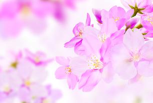 桜のイラスト素材 [FYI04903476]