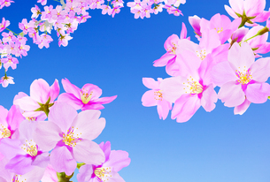 桜のイラスト素材 [FYI04903479]