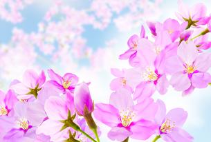 桜のイラスト素材 [FYI04903480]