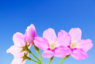 桜のイラスト素材 [FYI04903482]