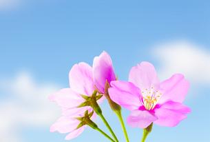 桜のイラスト素材 [FYI04903483]