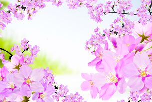 桜のイラスト素材 [FYI04903489]