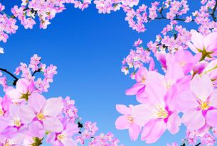桜のイラスト素材 [FYI04903490]