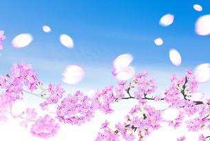 桜のイラスト素材 [FYI04903496]