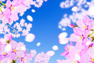 桜のイラスト素材 [FYI04903497]