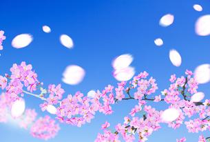 桜のイラスト素材 [FYI04903499]