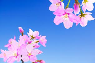 桜のイラスト素材 [FYI04903516]
