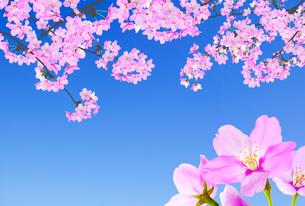 桜のイラスト素材 [FYI04903517]