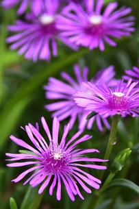 マツバギク(ハマミズナ科マツバギク属の多年草)のピンク色の花の写真素材 [FYI04903672]