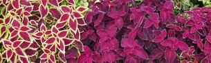 バナーサイズに切り抜いたコリウスの花壇の写真素材 [FYI04903924]