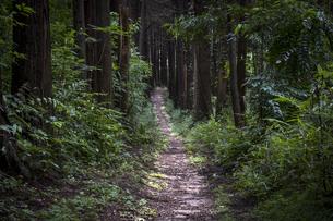 杉林野中を抜ける道の写真素材 [FYI04904125]