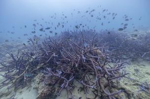 奄美大島の珊瑚礁の写真素材 [FYI04904255]