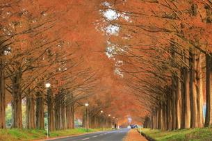 秋の朝のメタセコイア並木の写真素材 [FYI04904311]