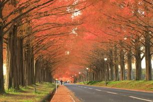 秋の朝のメタセコイア並木の写真素材 [FYI04904312]