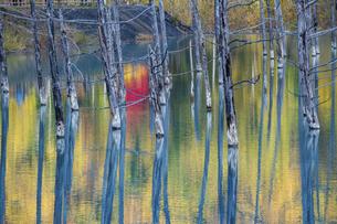 黄葉の木々を映す秋の青い池 美瑛町の写真素材 [FYI04904640]