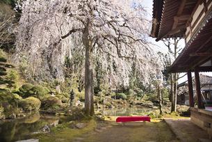 玉川寺庭園のサクラの写真素材 [FYI04905608]