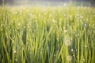 朝陽に照らされて朝露が光る稲の写真素材 [FYI04905614]