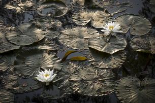 朝陽に照らされ鮮やかなスイレンの花の写真素材 [FYI04905616]
