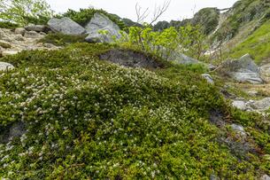 中央アルプス濃ヶ池付近に咲くミネズオウ(峰蘇芳)の写真素材 [FYI04905843]
