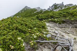 中央アルプス宝剣岳付近に咲くキバナシャクナケの写真素材 [FYI04905860]