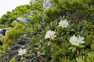 中央アルプス木曽駒ヶ岳頂上付近に咲くキバナシャクナケの写真素材 [FYI04905862]