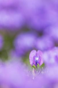 中央アルプス木曽駒ヶ岳から中岳の間に咲くオヤマノエンドウの写真素材 [FYI04905864]