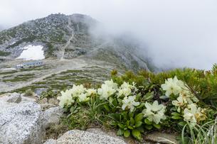 中央アルプス木曽駒ヶ岳頂上付近に咲くキバナシャクナケの写真素材 [FYI04905868]