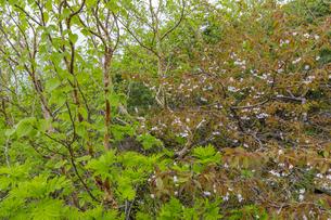 中央アルプス千畳敷カールに咲くタカネザクラの写真素材 [FYI04905899]
