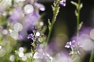 朝露が光る紫色の花の写真素材 [FYI04905924]