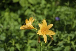 初夏の野に咲く黄色い花の写真素材 [FYI04905927]
