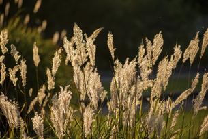 夕日に輝くススキの穂の写真素材 [FYI04905952]