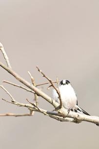 木の枝にとまるエナガの写真素材 [FYI04906126]