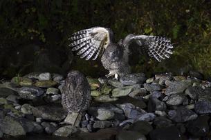 二羽のシマフクロウの写真素材 [FYI04906127]