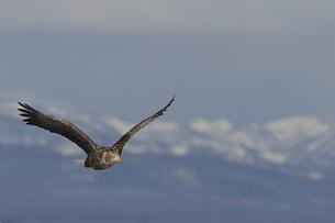 雪山を背に飛翔するオジロワシの写真素材 [FYI04906135]