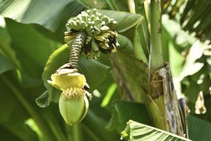 日本で咲いたバナナの花の写真素材 [FYI04906284]