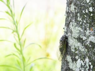 【夏】クマゼミが木に止まっている風景 昆虫の写真素材 [FYI04906361]