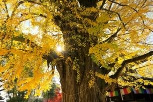 鑁阿寺(ばんなじ)の大銀杏の写真素材 [FYI04906437]