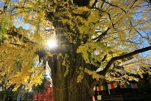 鑁阿寺(ばんなじ)の大銀杏の写真素材 [FYI04906438]