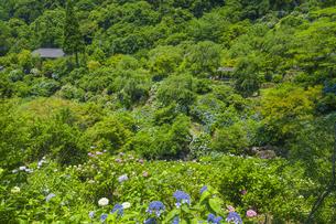 紫陽花咲く東雲の里の写真素材 [FYI04906550]