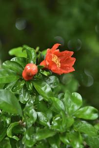 ザクロ(ミソハギ科ザクロ属)のオレンジ色の花とつぼみと葉の写真素材 [FYI04906680]