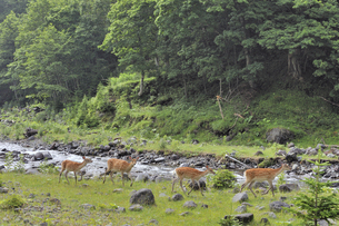 河原を歩くエゾシカの群(北海道・知床)の写真素材 [FYI04906726]