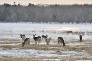 雪原に群れるエゾシカの雌(北海道・野付半島)の写真素材 [FYI04906766]