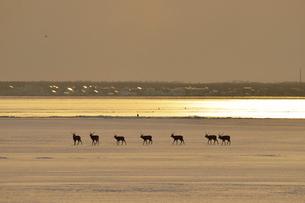 夕陽の雪原を歩くエゾシカの群(北海道・野付半島)の写真素材 [FYI04906771]