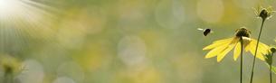 バナーサイズに切り抜いたオオハンゴンソウの写真素材 [FYI04907053]